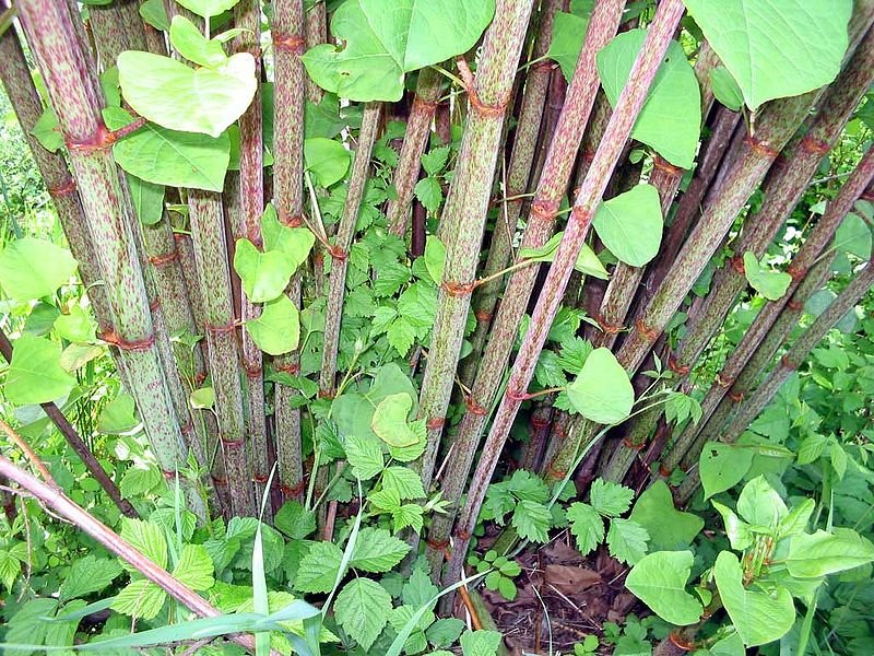 http://www.polidorrecycling.com/wp-content/uploads/2013/09/japanese-knotweed.jpg